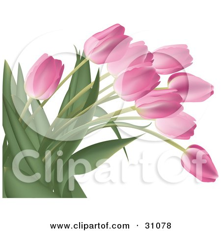 Bunch Of Pink Tulip Flowers With Lush Green Stalks And Leaves, Over White Posters, Art Prints