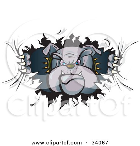 Clipart Illustration of a Tough Bulldog In A Spiked Collar, Tearing A Hole Through A Wall Or Paper And Looking Through by Paulo Resende