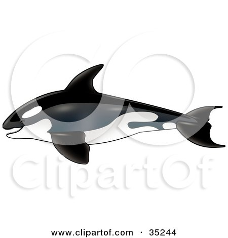 Clipart Illustration of a Swimming Killer Whale In Profile, Heading Left by dero