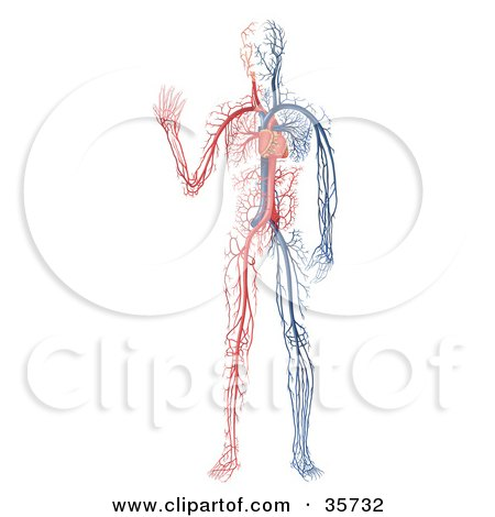 Clipart Illustration of Blue And White Veins And The Heart Of A Human Body by dero