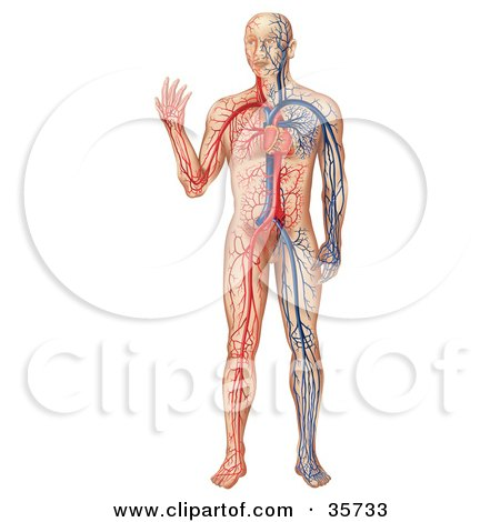 Clipart Illustration of a Heart Pumping Blue And Red Blood Throughout A Human Body by dero