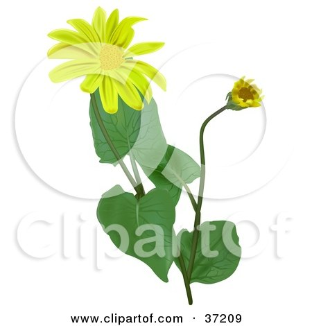Clipart Illustration of Blooming Leopard's Bane, Wolf's Bane, Mountain Tobacco, Or Mountain Arnica (Arnica Montana) Flowers by dero
