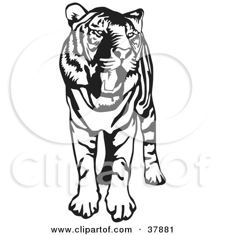 Clipart Illustration of a Standing Black And White Tiger With Its Mouth Open by David Rey