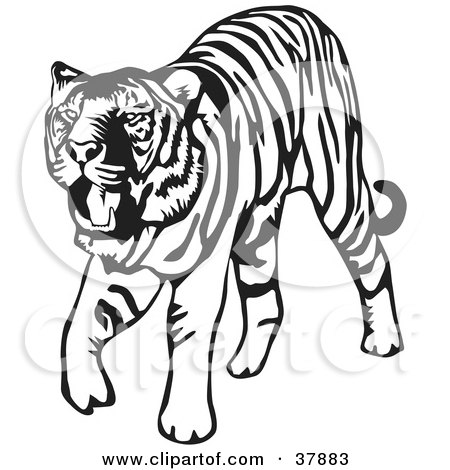 Tiger Head Clipart Black And White Walking Black And White Tiger
