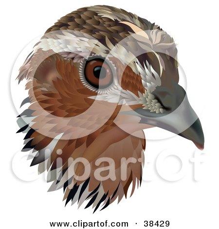 Clipart Illustration of a Common Quail (Coturnix Coturnix) Bird Head by dero