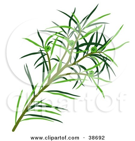 Clipart Illustration of Green Narrow-Leaved Paperbark, Narrow-Leaved Tea-Tree, Narrow-Leaved Ti-Tree, Or Snow-In-Summer (Melaleuca Alternifolia) Leaves by dero