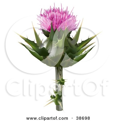 Clipart Illustration of a Milk Thistle, Blessed Milk Thistle, Marian Thistle, Mary Thistle, Mediterranean Milk Thistle Or Variegated Thistle (Silybum Marianum) Bloom by dero