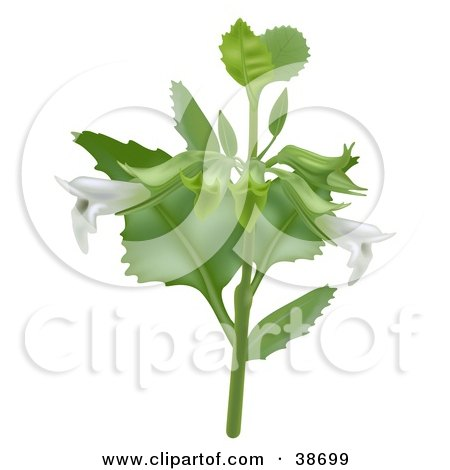 Clipart Illustration of White Lemon Balm (Melissa Officinalis) Flowers On The Plant by dero