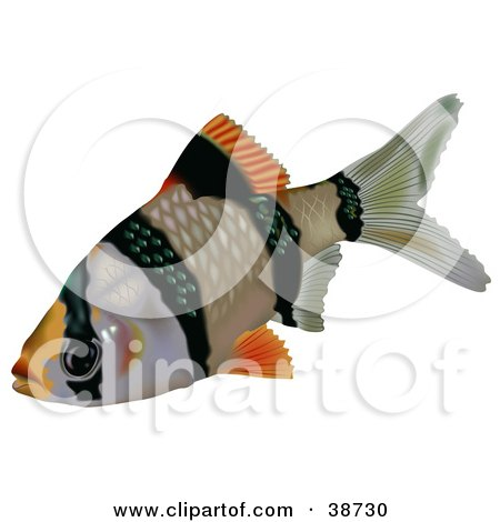 Clipart Illustration of a Black And Orange Tiger Barb Or Sumatra Barb (Puntius Tetrazona) by dero
