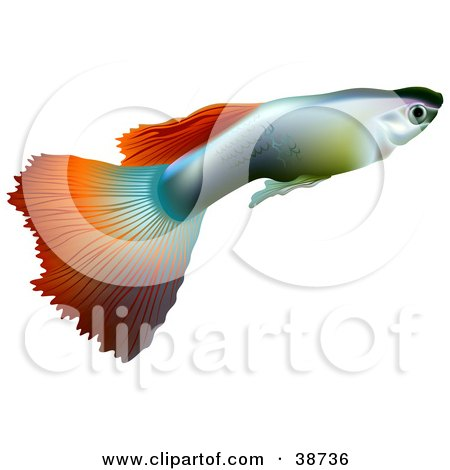 Clipart Illustration of a Millionfish Or Guppy (Poecilia Reticulata) In Profile by dero