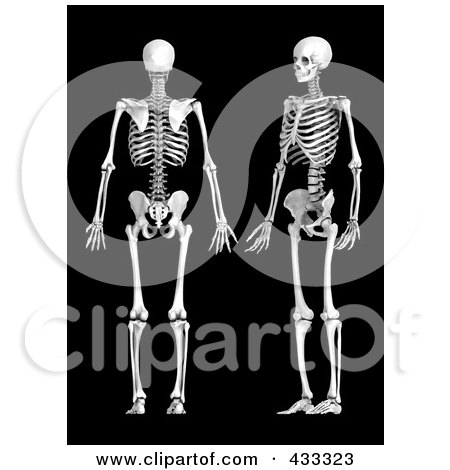 Royalty-Free (RF) Clipart Illustration Of A 3d Human Skeleton Shown In Profile And Rear Views by Mopic