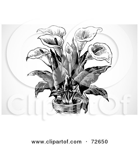 Royalty-Free (RF) Calla Lily Clipart, Illustrations, Vector ...
