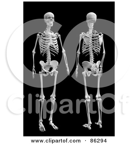 Royalty-Free (RF) Clipart Illustration of a Front And Rear View Of A 3d Human Skeleton by Mopic
