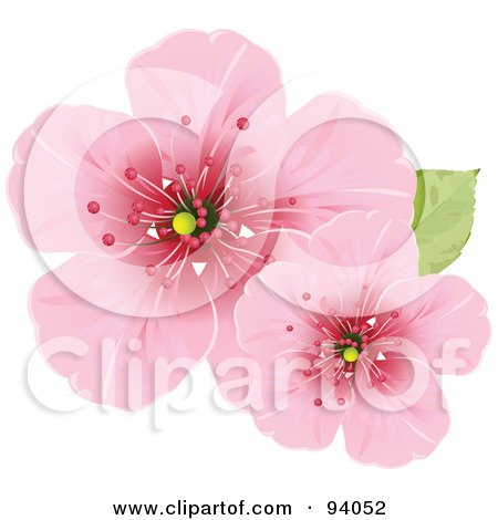 cherry blossom flower drawing. Cherry Blossom Flowers