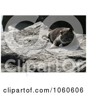 Stock Photo Of An Old Feral Cat Resting On A Flat Boulder by Kenny G Adams