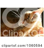 Stock Photo Of An Orange Calico Housecat Grooming Himself by Kenny G Adams