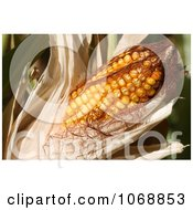 Sweet Corn On The Cob With Husk Royalty Free Vegetable Stock Photo by Kenny G Adams