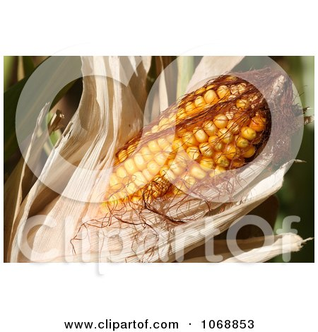 Sweet Corn On the Cob With Husk - Royalty Free Vegetable Stock Photo by Kenny G Adams