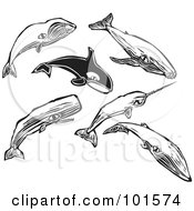 Royalty Free RF Clipart Illustration Of A Digital Collage Of Engraved Styled Bowhead Humpback Orca Narwal Sei And Sperm Whales by xunantunich