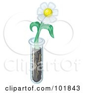 White Daisy Flower Growing From A Test Tube