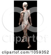 Royalty Free CGI Clip Art Illustration Of A 3d Skeletal Womans Body Walking by KJ Pargeter