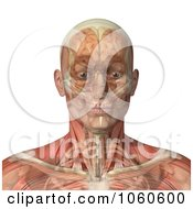 Royalty Free CGI Clip Art Illustration Of A 3d Male Head With Transparent Muscles With The Skull And Brain by Michael Schmeling