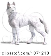 Clipart 3d White Wolf Hybrid Dog Royalty Free CGI Illustration by Ralf61