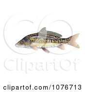 Mirror Carp Fish Cyprinus Carpio Royalty Free Historical Clip Art
