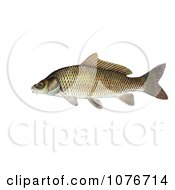 Common Carp Or European Carp Fish Cyprinus Carpio Royalty Free Historical Clip Art by JVPD #COLLC1076714-0002