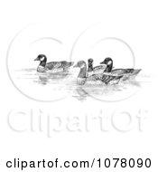 Aleutian Canada Geese Branta Canadensis Leucognaphalus Royalty Free Clip Art
