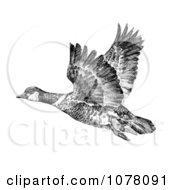 Aleutian Canada Geese Branta Canadensis Leucognaphalus Royalty Free Clip Art by JVPD