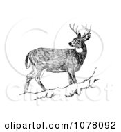 White Tailed Deer Looking Back Royalty Free Clip Art