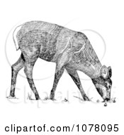 Grazing White Tailed Deer Royalty Free Clip Art