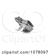 Pickerel Frog Rana Palustris Royalty Free Clip Art