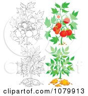 Clipart Tomato And Leafy Plants In Color And Outline Royalty Free Illustration