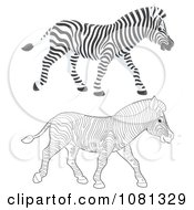 Clipart Colored And Outlined Zebras Walking Royalty Free Illustration by Alex Bannykh