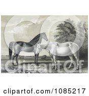 Two Beautiful Horses Black Hawk And Lady Suffolk Standing Together Royalty Free Stock Illustration
