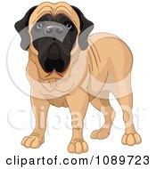 Cute English Mastiff Dog Standing