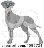 Cute Blue Great Dane Dog Standing