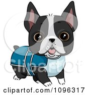 Cute Boston Terrier Puppy Dog Wearing A Sweater