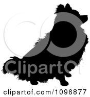 Black And White Sitting Pomeranian Dog