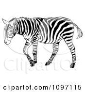 Clipart Walking Zebra Royalty Free Vector Illustration
