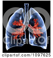 3d Medical Human Lungs With Visible Bronchi