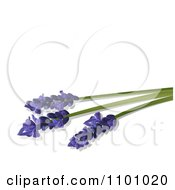 Three Lavender Stalks And Flowers On White With Copyspace