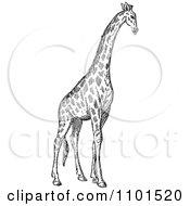 Clipart Retro Black And White Giraffe Royalty Free Vector Illustration
