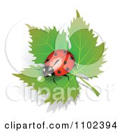 Red Heart Spotted Ladybug Drinking Dew On A Leaf