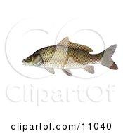 Clipart Illustration Of A Common Carp Or European Carp Fish Cyprinus Carpio by Jamers #COLLC11040-0013