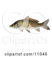 Clipart Illustration Of A Common Carp Or European Carp Fish Cyprinus Carpio by JVPD