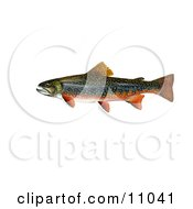 Clipart Illustration Of A Brook Trout Fish Salvelinus Fontinalis by JVPD