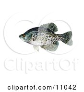 Clipart Illustration Of A Black Crappie Fish Pomoxis Nigromaculatus by JVPD